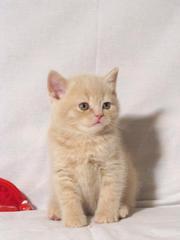 Плюшевый шотландский котенок