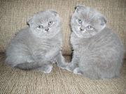 Шотландские плюшевые вислоухие котята продам.