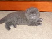 Продам редкую породу шотландского вислоухого котенка