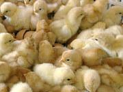 Инкубация яиц,  продажа цыплят,  утят,  гусят.