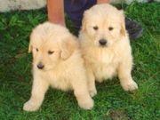 Очаровательная Нежный мужской и женский золотой щенков ретривера