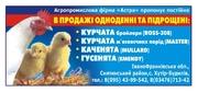 Пропонуєм курчата бройлера,  каченята,  гусенята Украина