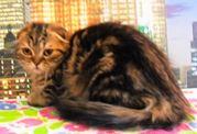 Шотландский вислоухий породистый котенок