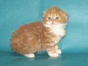 Шотландский котенок хайленд