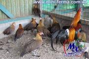 Инкубационные яйца кур породы Феникс.