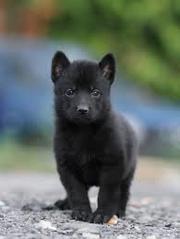 Продам щенков чёрной немецкой овчарки 1.5 месяца