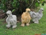 Продам цыплят китайской шелковой курицы