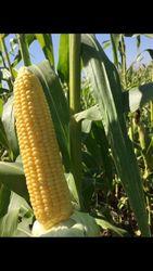 Сахарная кукуруза в початках