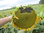 Насіння гібриду соняшника - Сонячний настрій