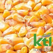Купуємо фуражну кукурудзу
