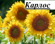 Пропонуємо придбати насіння нового соняшнику