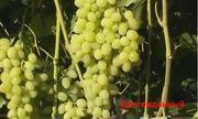 Предлагаю к реализации посадочный материал винограда