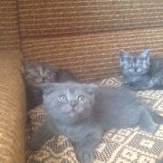 Шотландские вислоухие и прямоухие котята ждут своих хозяев
