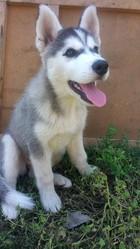 Продам щенка Сибирского хаски