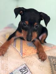Продам щенка цвергпинчера ( мини доберман)