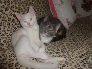 белый голубоглазый котик с документами
