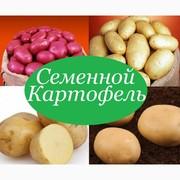 Продам картофель посевной (посадочный)