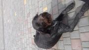 Продам щенков породы Дратхаар