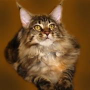 Продам котят мейн-куна